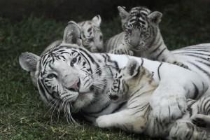 tigres blancos del Zoológico de Huachipa