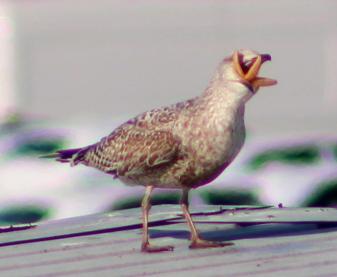 gull-eating-starfish-3