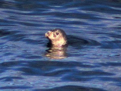 harbour-seal-3