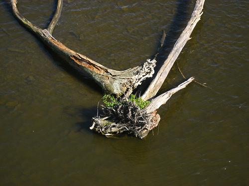 driftwood on Mississippi River copyright Diana Rajchel 2009