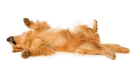Hond met epileptische aanval