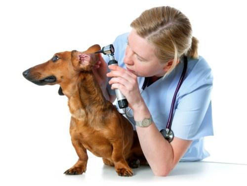 otitis hond