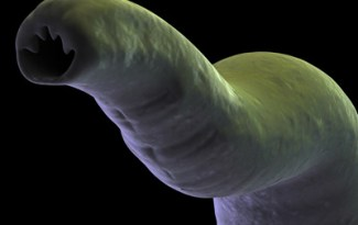 Parasite interne