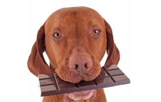 Intoxication chocolat chien