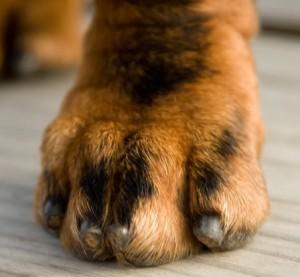 griffe chien courte
