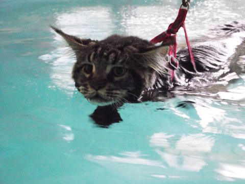 réeducation d'un chat en piscine