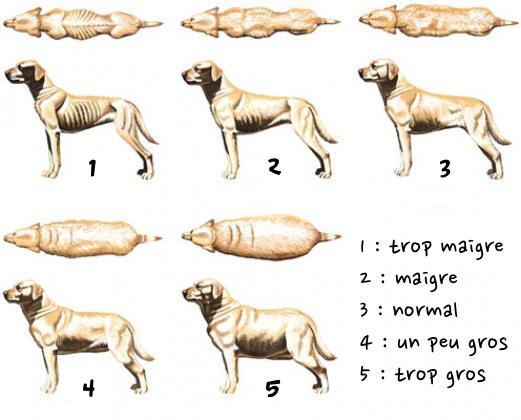 Mon chien est-il trop gros