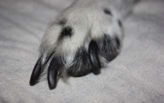 griffe de chien trop longue
