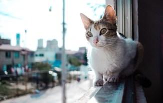 chat tombe de la fenêtre, chat parachutiste, chute de chat balcon