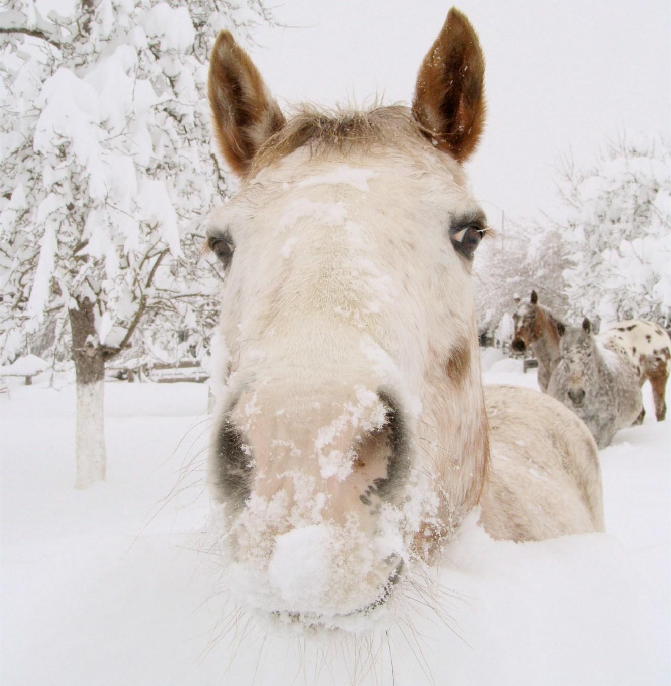 kobyla_w_sniegu