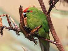 Kakariki/New Zealand parakeet.