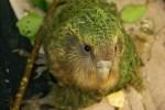 Kakapo. Photo by Sam O'Leary.