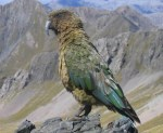Kea. Photo by Timothy Ensom.