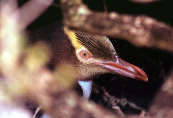 Yellow-eyed penguin (hoiho). Photo by Sam O'Leary.