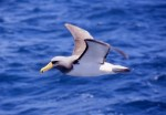 Chatham Island albatross. Photo by Sam O'Leary.