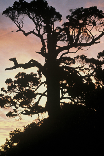 A grand old rimu tree.