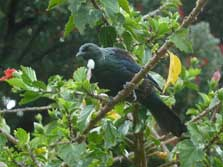 Tui on Raoul Island.