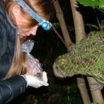 Sirocco inspecting a Maud Island frog