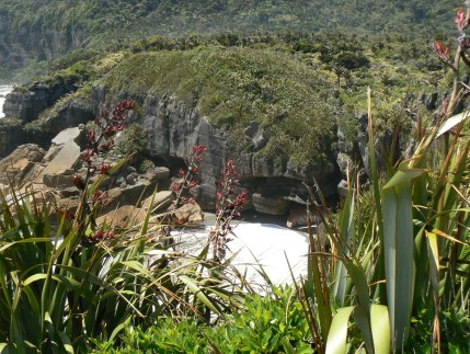 Harakeke in flower, Punakaiki; the gateway to Paparoa National Park.