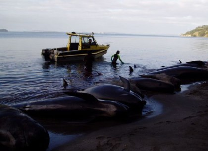 Stranded pilot whales.