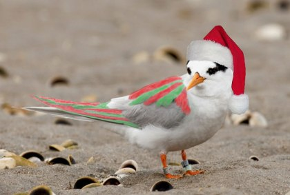 A fairy tern getting in to the Christmas spirit with coloured wings and Santa hat.