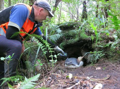 Checking for a transponder in a yellow-eyed penguin on Whenua Hou Codfish Island