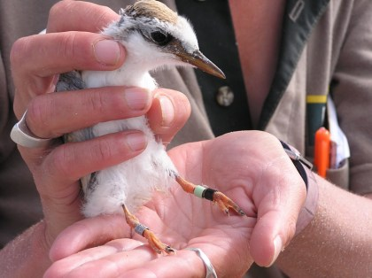 Fairy tern is banded and released by DOC staff.