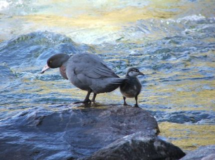 Whio (Blue Duck) with chick. (Photo credit – Mark Neilson).