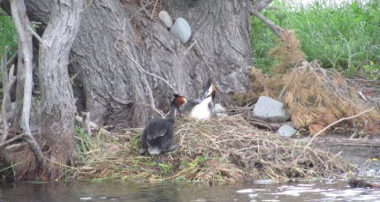 Australasian crested grebes.