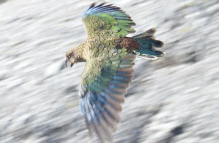 Kea swooping around camp.
