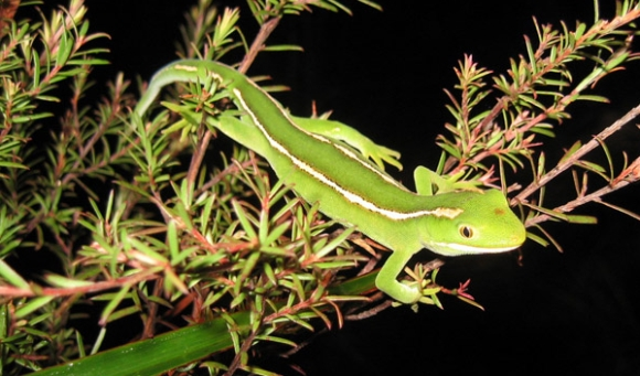 North Cape green gecko.
