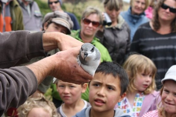 An unbanded taiko being held after being discovered on the Chatham Islands.