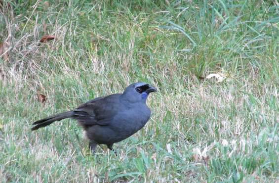 Kokako hopping about the grass like a common lawn bird.