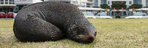A fur seal pup relaxing at Mount Maunganui. Credit: Joel Ford, Bay of Plenty Times.