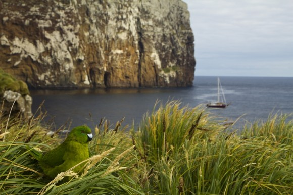 An Antipodes parakeet on the Antipodes Islands. Photographed by James Russell.