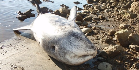 Stranded Risso's dolphin. Photo: Mike Ogle/DOC.