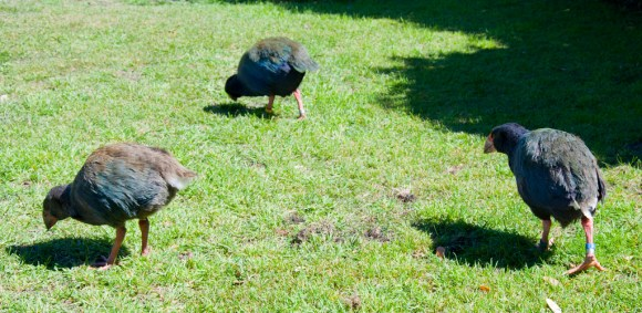 Three takahē looking for grubs. Photograph by Stuart McCaw.