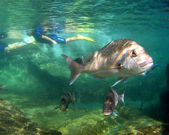 Snorkeller at Cape Rodney, Okakari Point Marine Reserve. Photo: Brian Mackie © DOC use only.