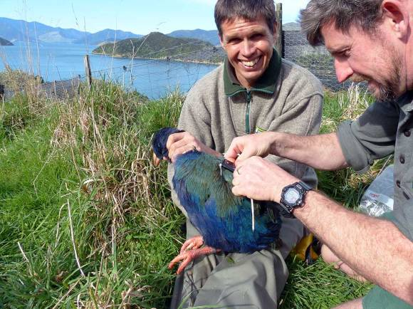 Changing the transmitter on takahe Rangi.