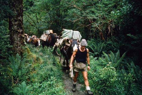 Ray Willett leading horses on the Milford Track.