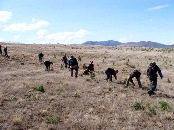 Students doing wilding pine control near Lake Clearwater, Ashburton Lakes Area, Canterbury.