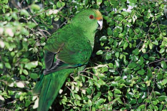 85% of the southern population of orange-fronted parakeets were wiped out