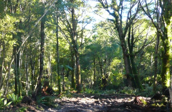 Longwoods silver beech forest at Tuatapere. Photo: Alastair Morrison.
