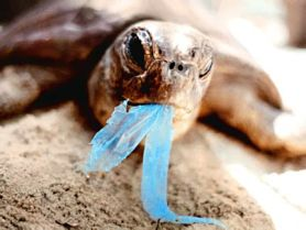 Turtle eating a plastic bag.