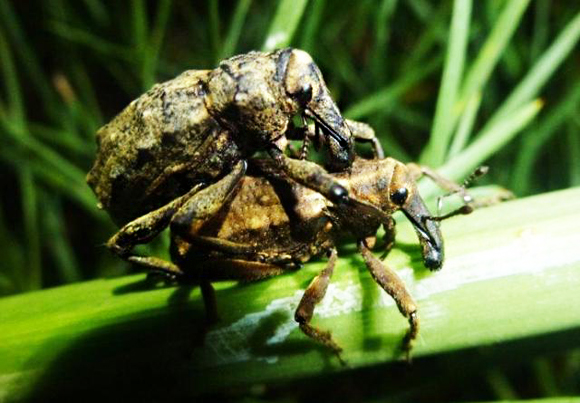 Weevils mating on speargrass