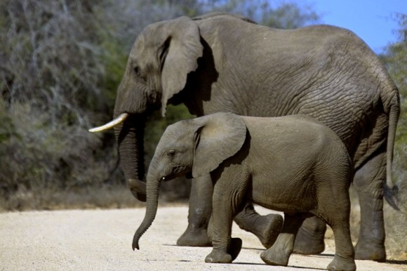 African elephant and calf.  Photo: Arno Meintjes | flickr | CC BY-NC 2.0.