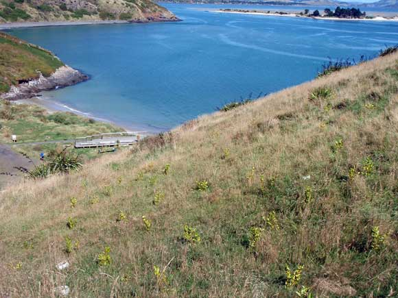 Small native plants nestled in the grass on a hillside. Sea in the background.
