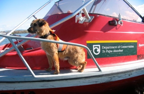 Tiki the conservation dog on a DOC boat.