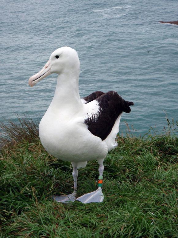 Toroa, the 500th royal albatross chick.