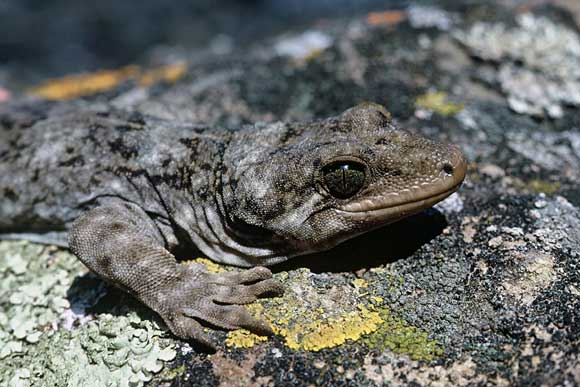 Duvaucel's gecko. Photo: Dick Veitch.